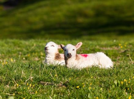 Forecast launched to help farmers respond to annual threat of Nematodirosis to lambs