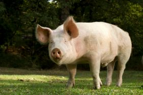 Porcine reproductive and respiratory syndrome (PRRS) is a virus that causes a disease of pigs