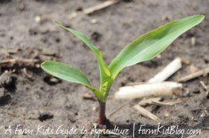 Small corn plant