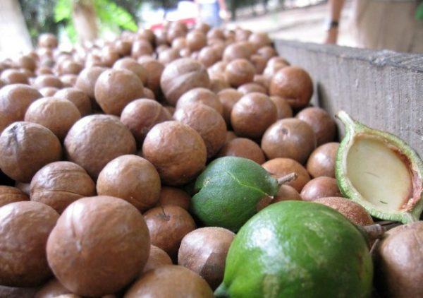 Grow cash on Fruit farming-Macadamia Production in Kenya – FarmLINK