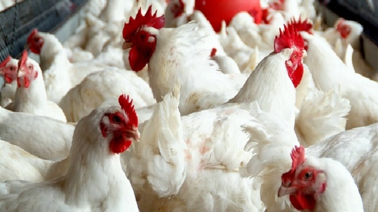 Broiler Farming In Kenya – FarmLINK Kenya