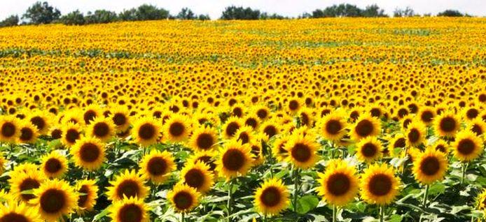 Image result for Sunflower Farming in Kenya