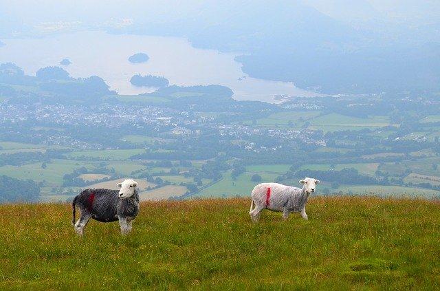 sheep-b&b-farm-cumbria-uk