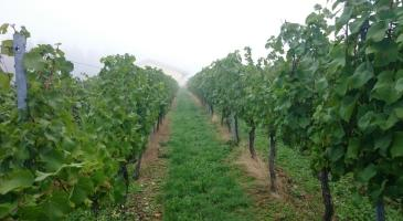 Farmstay-Rhineland-Germany-vineyard-stay-Mosel