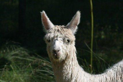 alpaca at swan valley farmstay perth