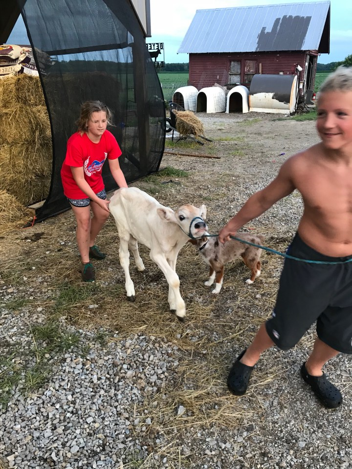 brown swiss calf learning to lead