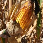 Farm Technology: Corn Drying