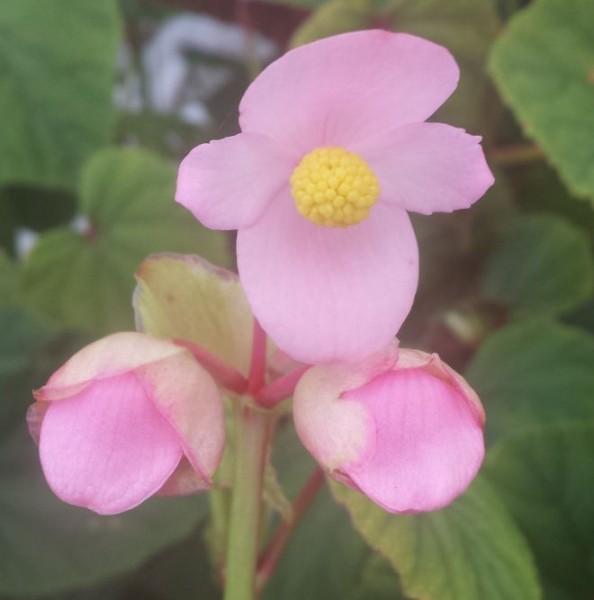 Begonia grandis evansiana