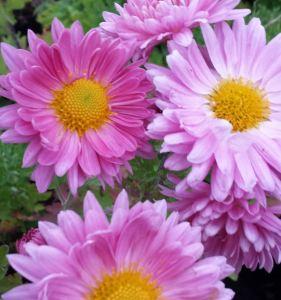chrysanthemum-vagabond-prince-3