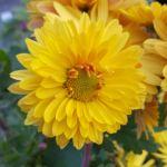 Chrysanthemum 'Cottage Lemon'