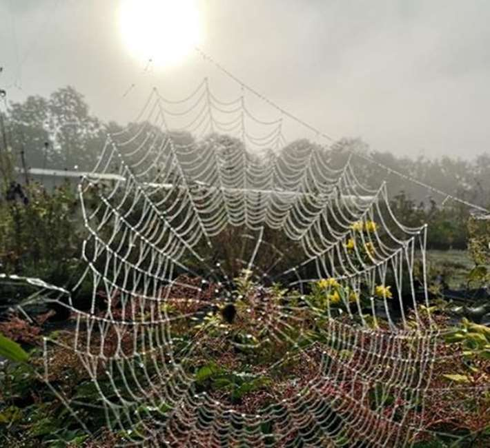 Stunning spiders web in the autumn light at Farmyard Nurseries
