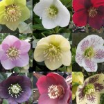 Hellebore value collection