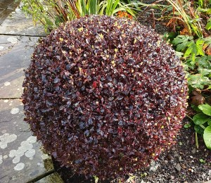 a neat round habit specimen plant
