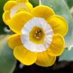 A stunning bright yellow Primula auricula