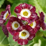 A striped Primula auricula. Lovely.