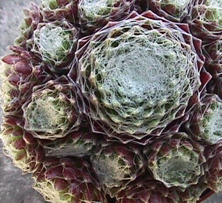 Sempervivums superb for those difficult sunny sites