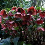 dark red lenten roses