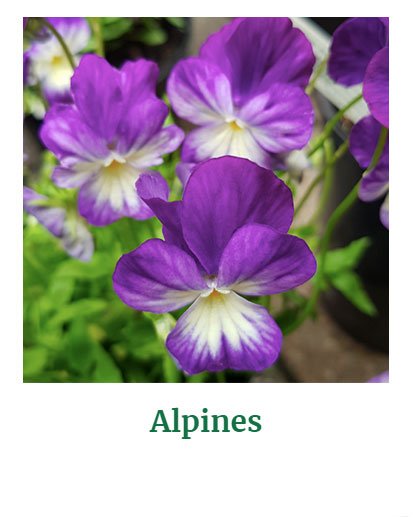 Shop for Alpines