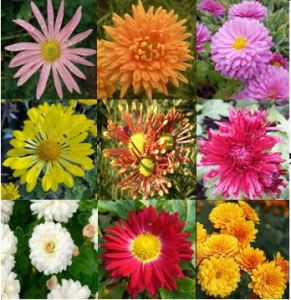 a collection of chrysanthemums