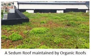 An intensive Sedum Roof