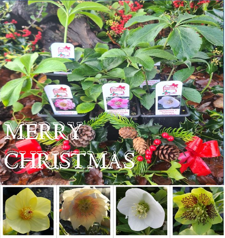Christmas gift idea from the nursery. A collection of plants presented as a lovely gift.
