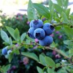 large, firm blueberry variety goldtraube on the bush