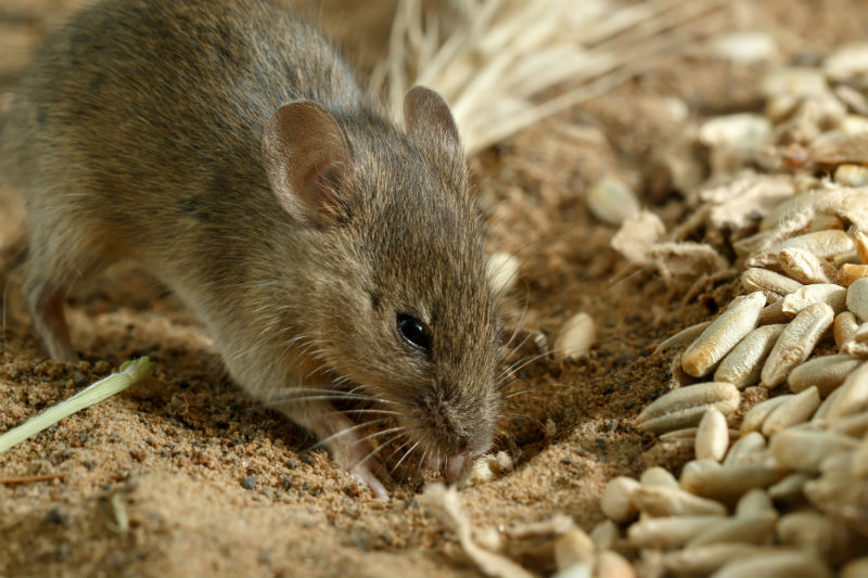 Give Rodents the Boot: How to Banish Rats and Mice from Your Barn