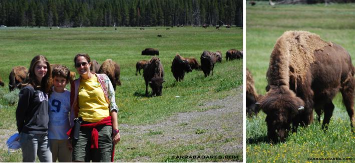 Bisão ou búfalo