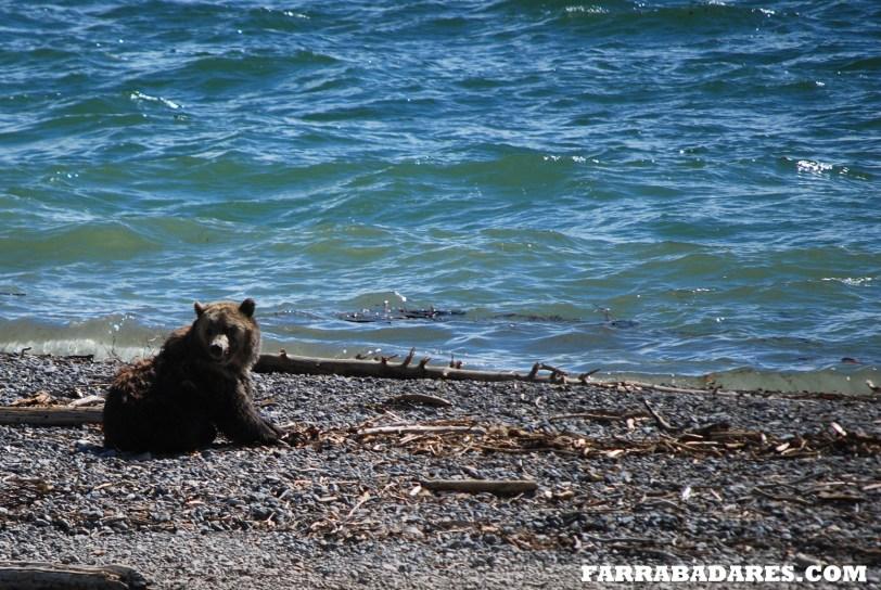 Grizzly Bear, urso pardo no Lago de Yellowstone