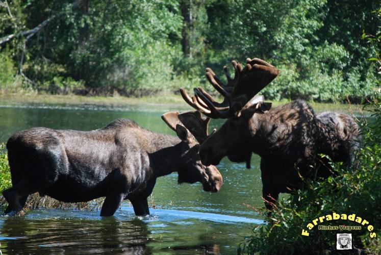 Grand Teton National Park - mooses