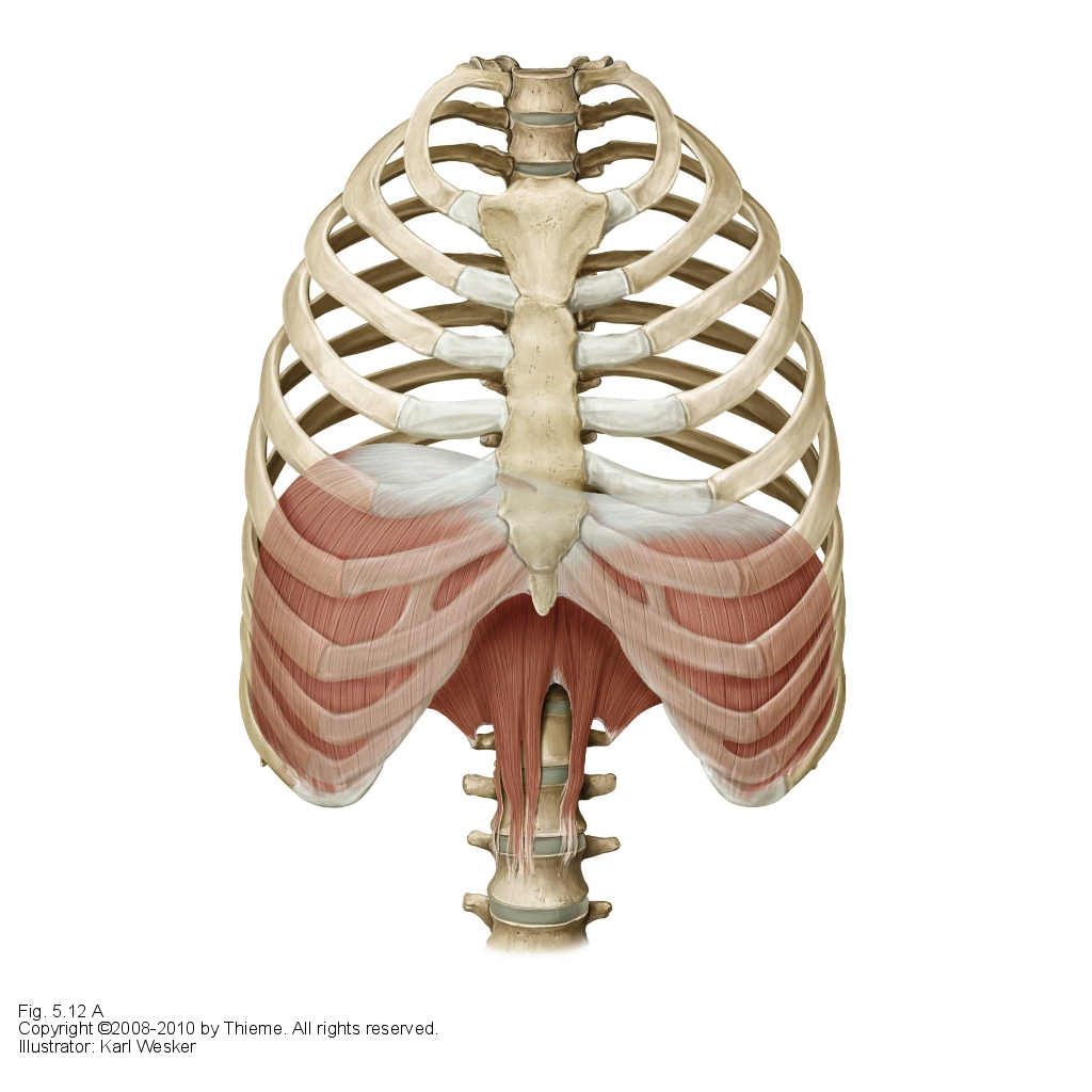 diagram of rib cage and muscles well pump parts the importance breathing correctly farringdon osteopaths