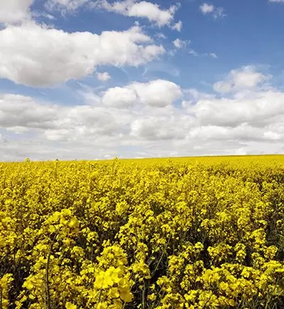 what is rapeseed oil field