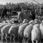 Sheep line up at the Sunday market outside Kashgar