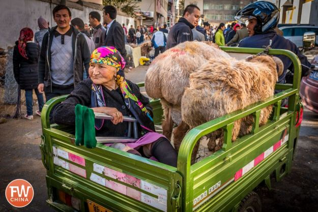 Sheep and Uyghur woman being transported by trailer in Urumqi, Xinjiang