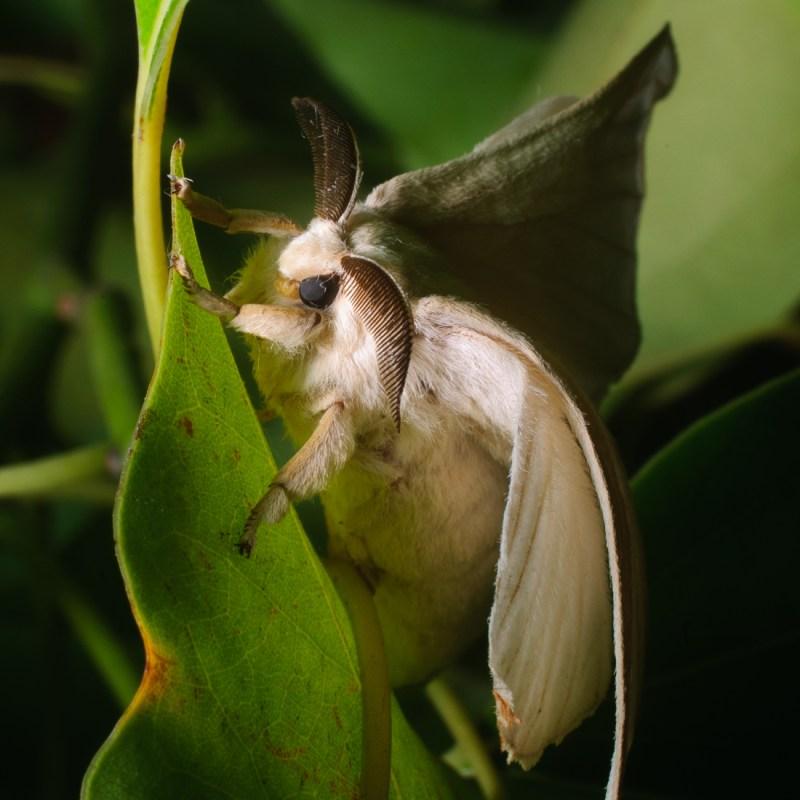 Mariposa Bombyx mori.