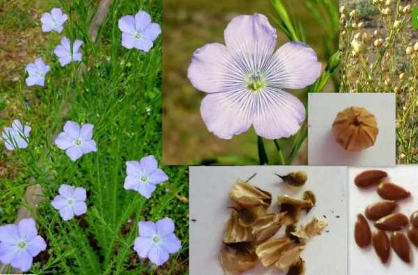 Da flor até a semente - As etapas para produzir semente de linhaça