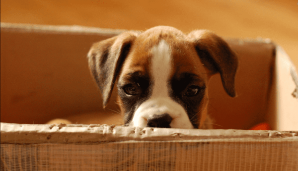 cachorro em caixa pronto para mudar de casa