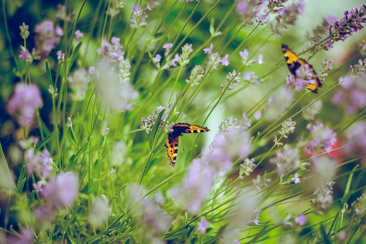 borboletas em canteiro de lavanda