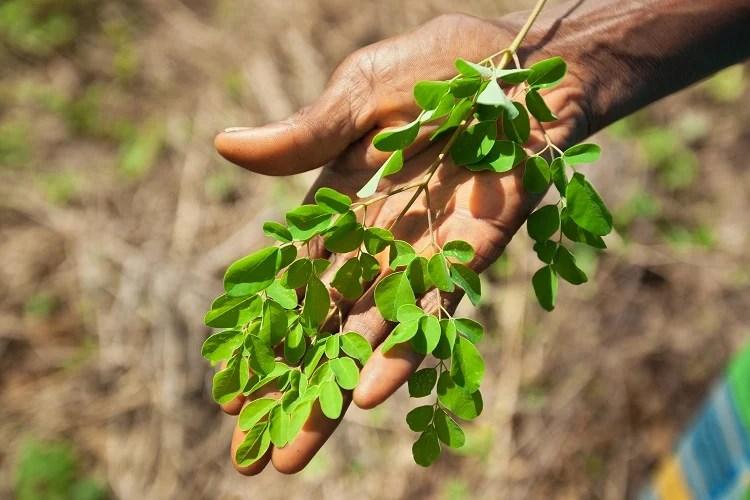 folha de moringa na palma da mão