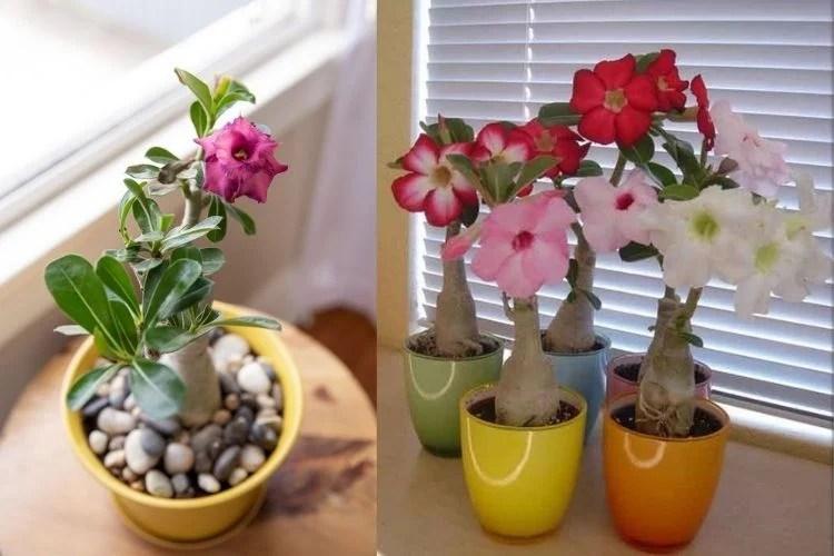 rosa do deserto dentro de casa