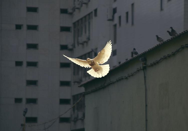 pomba branca voando