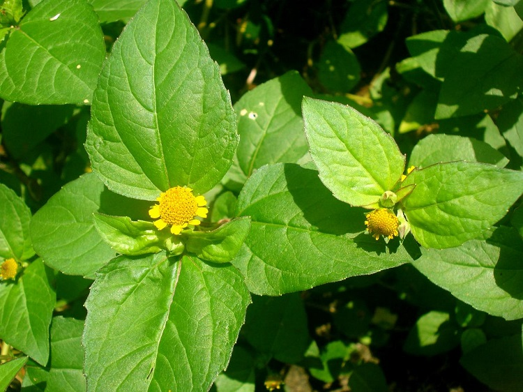 foto de arbusto florido de jambu