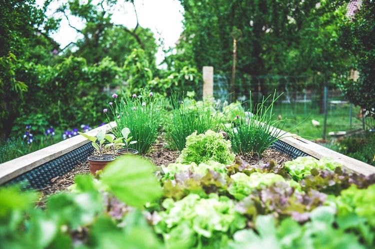 Foto de horta com mudas de alface e cebolinha
