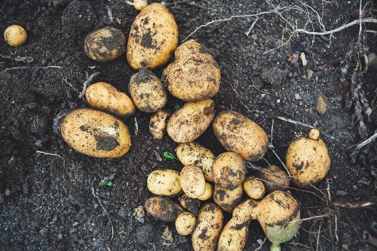 Foto de batatas de vários tamanhos recém-colhidas e sujas de terra
