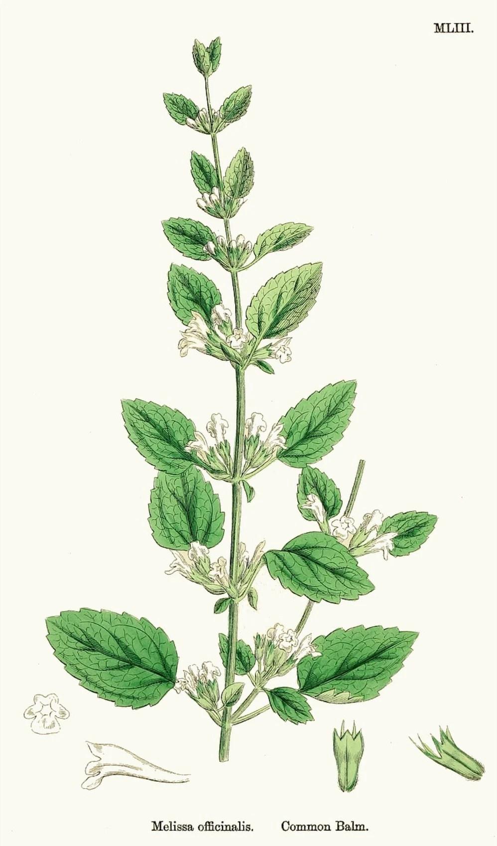 ilustração da planta melissa