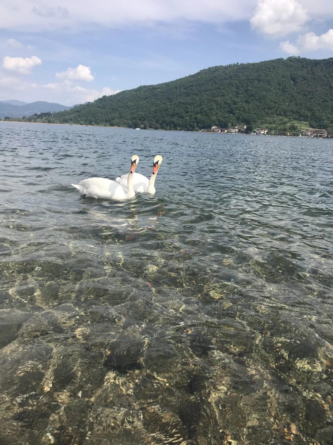 Lago Iseo e cisnes