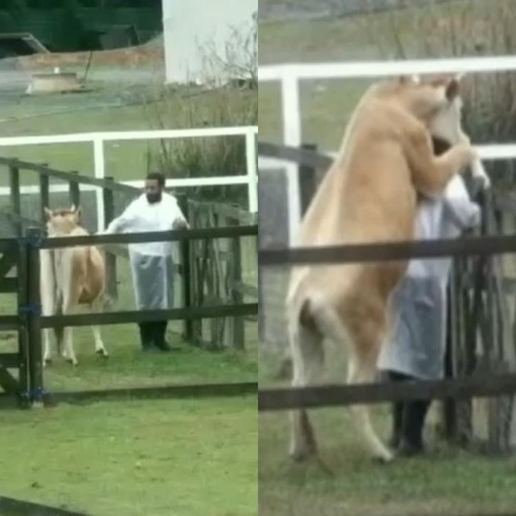 Foto da vaca e do Nego do Borel
