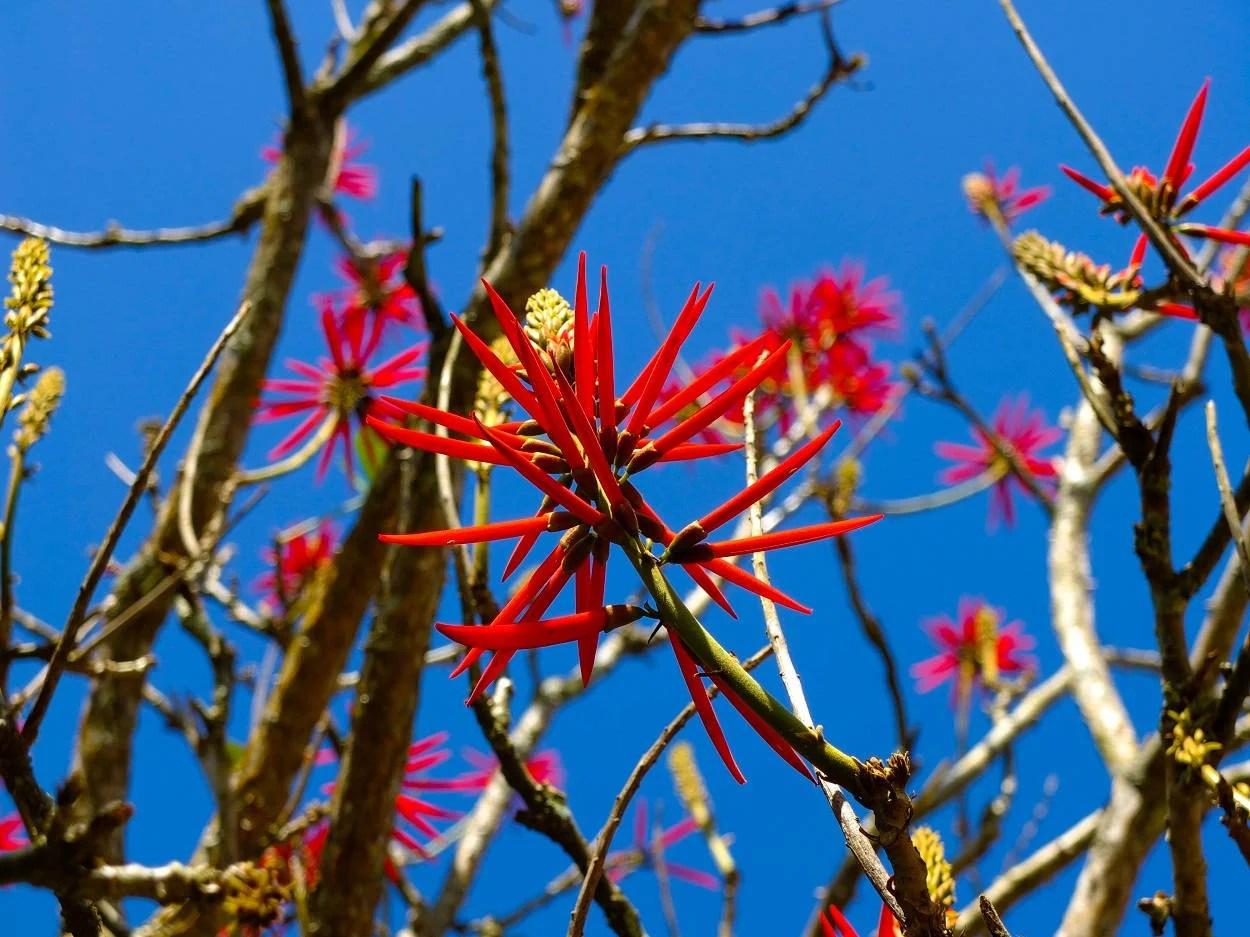 Foto de árvore de mulungu florida com céu azul ao fundo