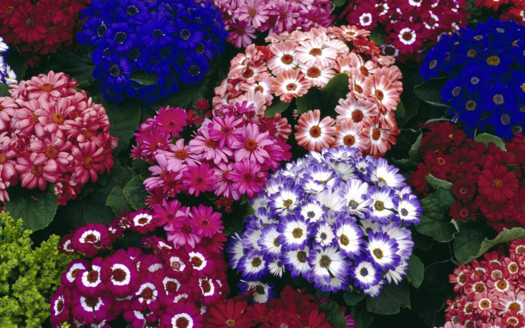 Best Growing Plants For Cool And Spring Season Cineraria