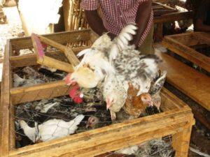Les vendeurs de volailles prendrons part a la VITHRO